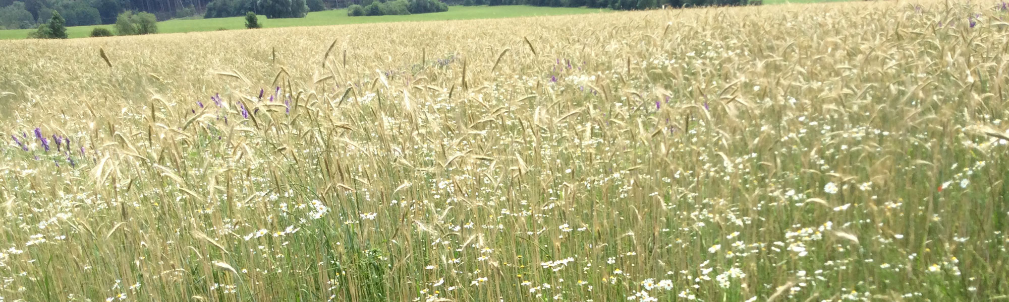 Getreidefeld im Landkreis Starnberg